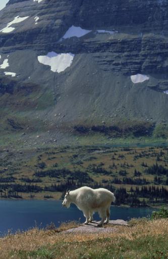 Nanny Goat「mountain goat: oreamnos americanus  nanny in habitat  glacie r nat. park, usa」:スマホ壁紙(11)