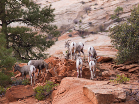 Tahr「Mountain Goats Climbing The Red Navajo Sandstone In Zion National Park」:スマホ壁紙(8)
