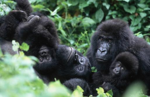 Gorilla「Mountain Gorillas, Gorillagorilla beringei. Familyinteraction during middayrest. Endangered.Distribution: Rwanda, Uganda,DRC. (Democratic Republic ofCongo) AF_GOR_M_031」:スマホ壁紙(5)