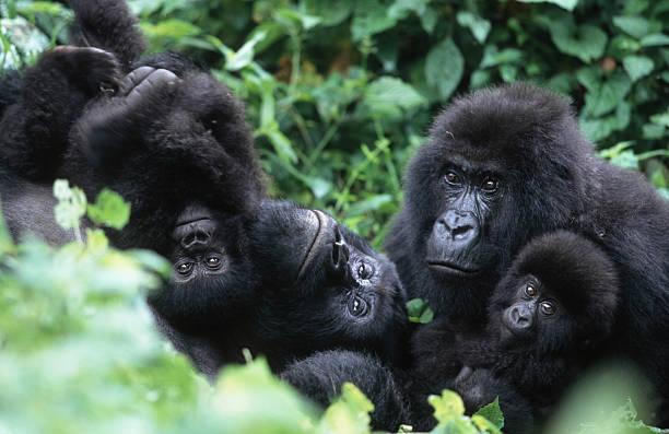 Mountain Gorillas, Gorillagorilla beringei. Familyinteraction during middayrest. Endangered.Distribution: Rwanda, Uganda,DRC. (Democratic Republic ofCongo) AF_GOR_M_031:スマホ壁紙(壁紙.com)
