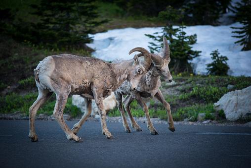 White Color「山ヤギのグレーシャー国立公園で草を食べて」:スマホ壁紙(19)