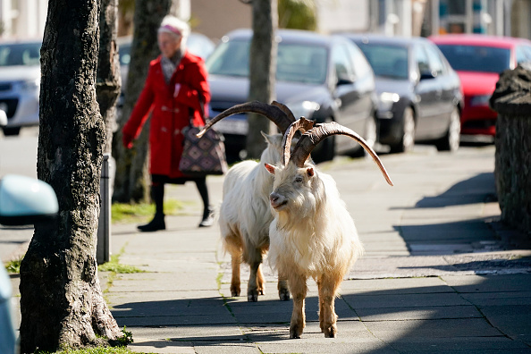 Animal Themes「Goats Roam Welsh Town As Coronavirus Lockdown Empties Its Streets」:写真・画像(12)[壁紙.com]