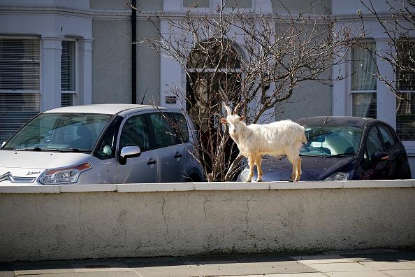 Goat「Goats Roam Welsh Town As Coronavirus Lockdown Empties Its Streets」:写真・画像(10)[壁紙.com]