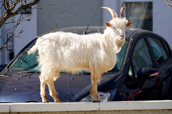 Animal Themes「Goats Roam Welsh Town As Coronavirus Lockdown Empties Its Streets」:写真・画像(10)[壁紙.com]