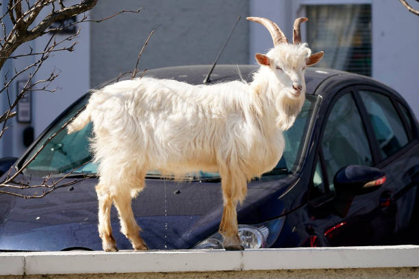 Goats Roam Welsh Town As Coronavirus Lockdown Empties Its Streets:ニュース(壁紙.com)
