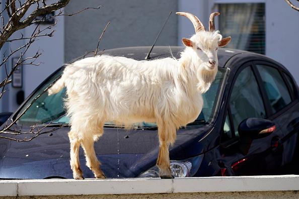 Animal「Goats Roam Welsh Town As Coronavirus Lockdown Empties Its Streets」:写真・画像(11)[壁紙.com]