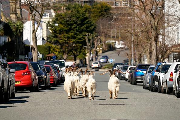 Animal「Goats Roam Welsh Town As Coronavirus Lockdown Empties Its Streets」:写真・画像(8)[壁紙.com]