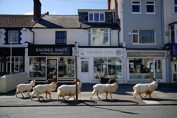 Animal「Goats Roam Welsh Town As Coronavirus Lockdown Empties Its Streets」:写真・画像(0)[壁紙.com]