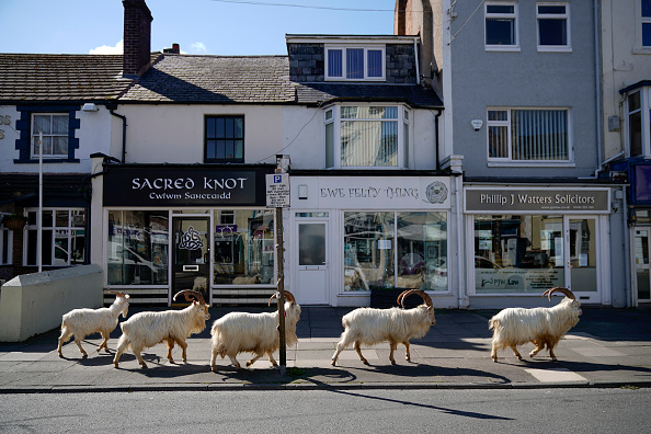 Street「Goats Roam Welsh Town As Coronavirus Lockdown Empties Its Streets」:写真・画像(4)[壁紙.com]
