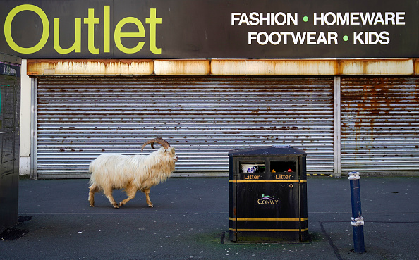 Animal Themes「Goats Roam Welsh Town As Coronavirus Lockdown Empties Its Streets」:写真・画像(2)[壁紙.com]