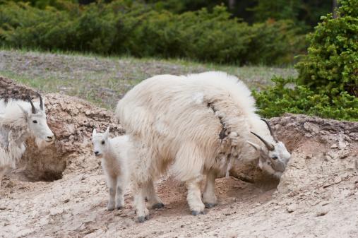 Nanny Goat「Mountain Goat (Oreamnos americanus) at a Salt Lick, Jasper National Park, Alberta, Canada」:スマホ壁紙(9)