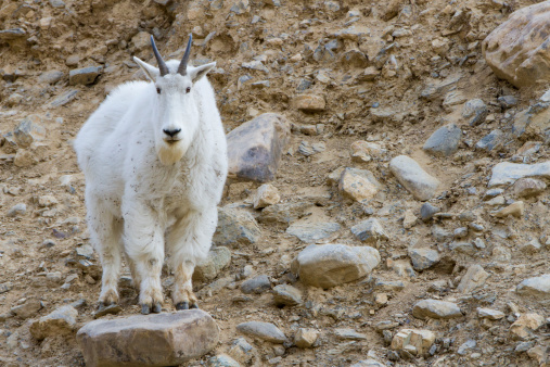 Goat「A mountain goat stands on a rock and looks into the camera in the Big Belt Mountains, Montana.」:スマホ壁紙(19)