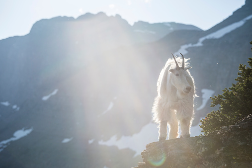 Horned「A mountain goat walks along a cliff in Glacier National Park, Montana.」:スマホ壁紙(0)