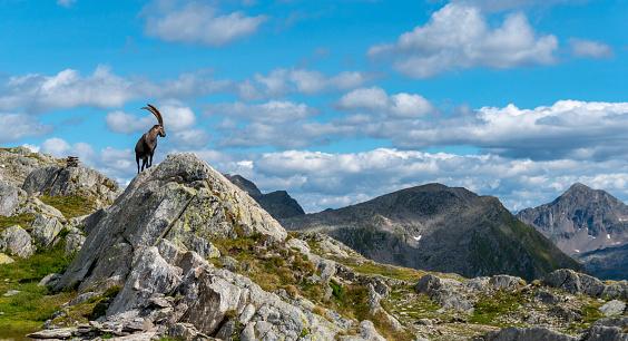 Goat「Mountain goat walks up rocky bluff」:スマホ壁紙(2)