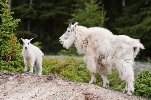 Nanny Goat「Mountain Goat, Nanny Goat and Kid」:スマホ壁紙(18)