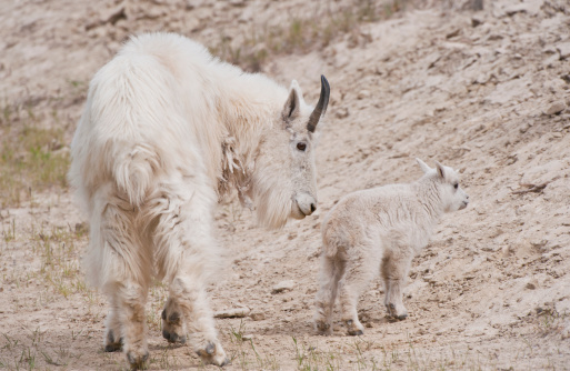 Nanny Goat「Mountain Goat (Oreamnos americanus) Nanny Goat and Kid. Jasper National Park, Alberta, Canada」:スマホ壁紙(8)