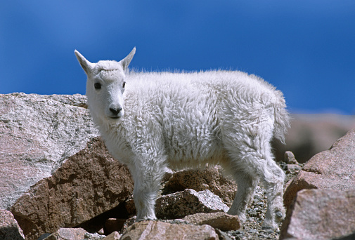 Arapaho National Forest「Mountain goat (Oreamnos americanus) on rocks, Mount Evans Recreation Area, Arapaho National Forest, Colorado, USA」:スマホ壁紙(3)
