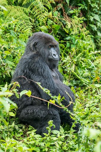 コンゴ民主共和国「マウンテンゴリラ(ゴリラ beringei beringei )のジャングル、ルワンダ」:スマホ壁紙(6)