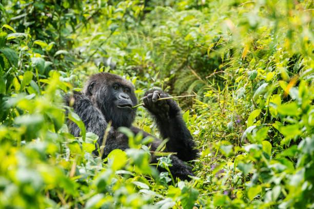 Mountain Gorilla (Gorilla beringei beringei) in the jungle, Rwanda:スマホ壁紙(壁紙.com)