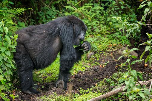 コンゴ民主共和国「マウンテンゴリラ(ゴリラ beringei beringei )のジャングル、ルワンダ」:スマホ壁紙(10)