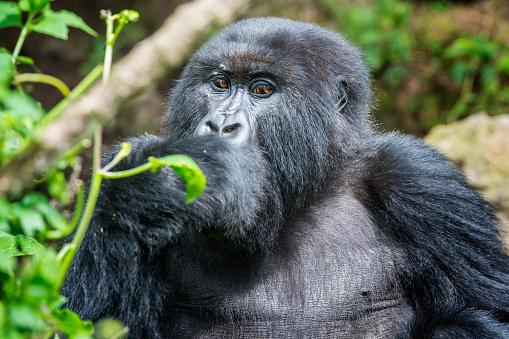 コンゴ民主共和国「マウンテンゴリラ(ゴリラ beringei beringei )のジャングル、ルワンダ」:スマホ壁紙(9)