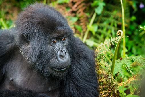 コンゴ民主共和国「マウンテンゴリラ(ゴリラ beringei beringei )のジャングル、ルワンダ」:スマホ壁紙(8)