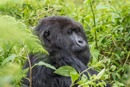 コンゴ民主共和国「マウンテンゴリラ(ゴリラ beringei beringei )のジャングル、ルワンダ」:スマホ壁紙(7)