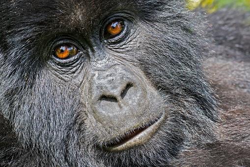 Uganda「Mountain Gorilla (Gorilla beringei beringei) in the jungle, Rwanda」:スマホ壁紙(14)