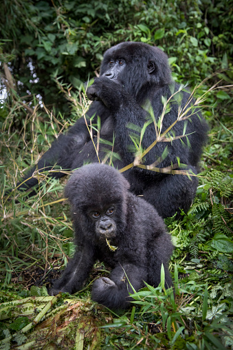 コンゴ民主共和国「Mountain Gorillas, Volcanoes National Park」:スマホ壁紙(3)