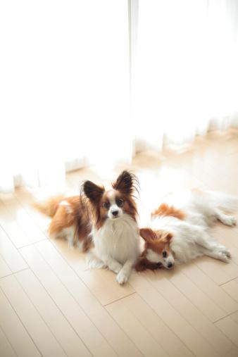 犬「Two Papillion」:スマホ壁紙(10)