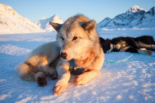 Sled「Husky sled dog in harness resting on a polar expedition, Greenland」:スマホ壁紙(12)