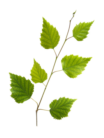 Branch - Plant Part「Branch of birch with young green leaves」:スマホ壁紙(12)