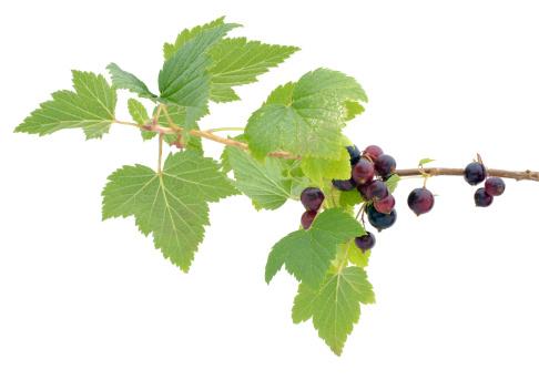 Black currant「branch of blackcurrants」:スマホ壁紙(7)