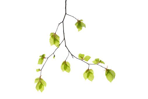 小枝「Branch of Beech tree (European Beech / Fagus sylvatica) with fresh foliage in spring, white background.」:スマホ壁紙(3)
