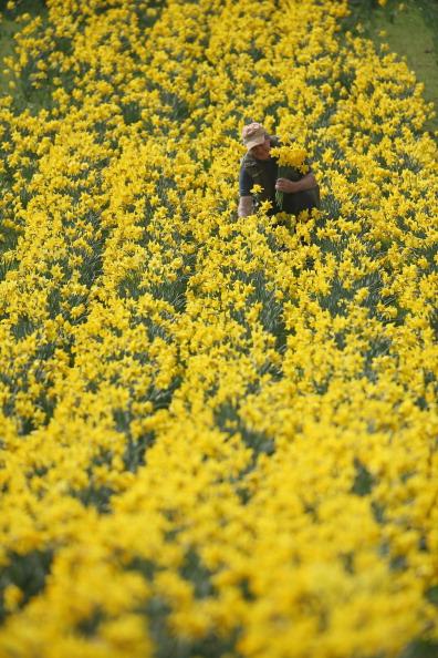 スイセン「Daffodil Walk Opens For Charity」:写真・画像(13)[壁紙.com]