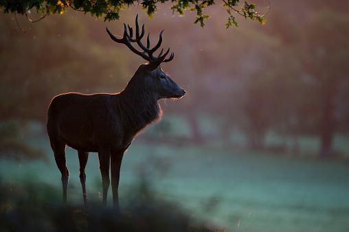 Stag「England, Red deer, Cervus elaphus」:スマホ壁紙(11)