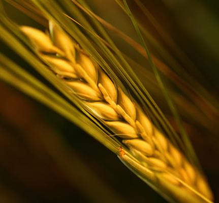 Oats - Food「Wheat,closeup.」:スマホ壁紙(11)