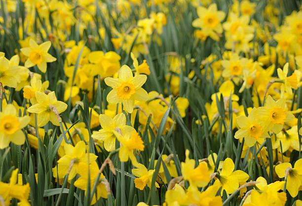 Field of Daffodils:スマホ壁紙(壁紙.com)