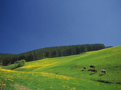 たんぽぽ「Field of dandelions, Germany」:スマホ壁紙(15)