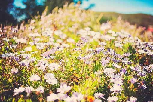 コスモス「Field of Daisies, Western Cape, South Africa.」:スマホ壁紙(1)