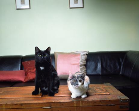 カメラ目線「Two cats on table, sitting and lying」:スマホ壁紙(1)