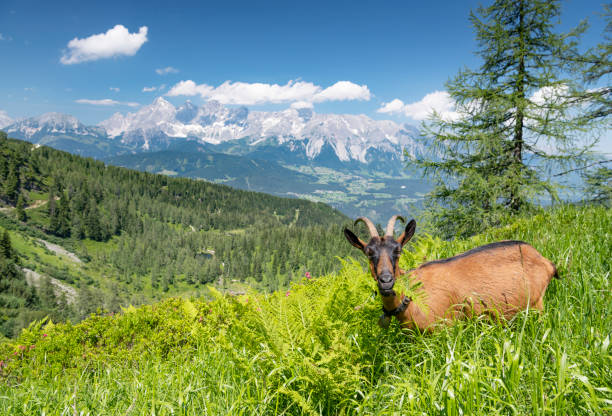Goat grazing in front of the famous Glacier Dachstein Mountains, Schladming, Austria:スマホ壁紙(壁紙.com)