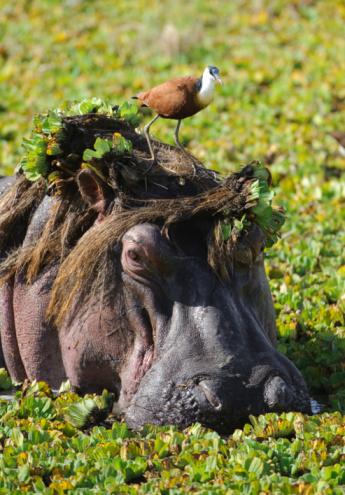 Hippopotamus「Jacana standing on hippo's (Hippopotamus amphibius) head, Masai Mara Game Reserve, Kenya」:スマホ壁紙(4)