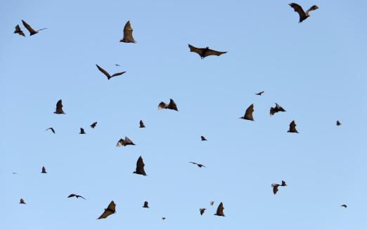 Gliding「Lots of flying fox」:スマホ壁紙(7)