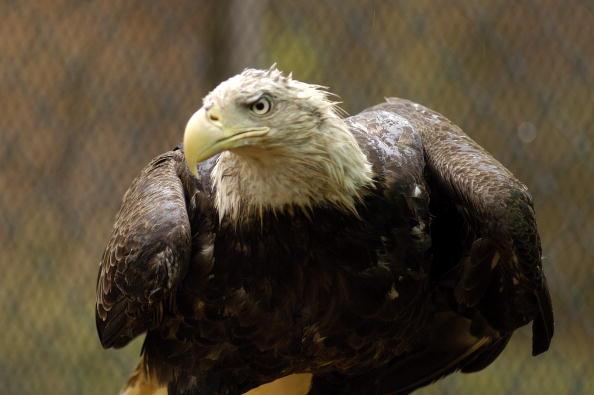 Animals Hunting「Maryland Celebrates The Return Of The Bald Eagle」:写真・画像(0)[壁紙.com]