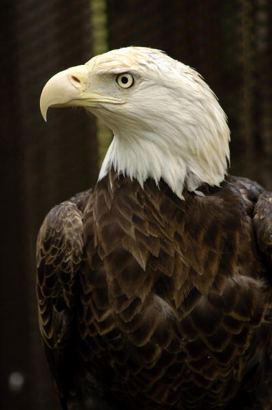 Animals Hunting「Maryland Celebrates The Return Of The Bald Eagle」:写真・画像(14)[壁紙.com]