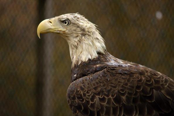 Animals Hunting「Maryland Celebrates The Return Of The Bald Eagle」:写真・画像(2)[壁紙.com]