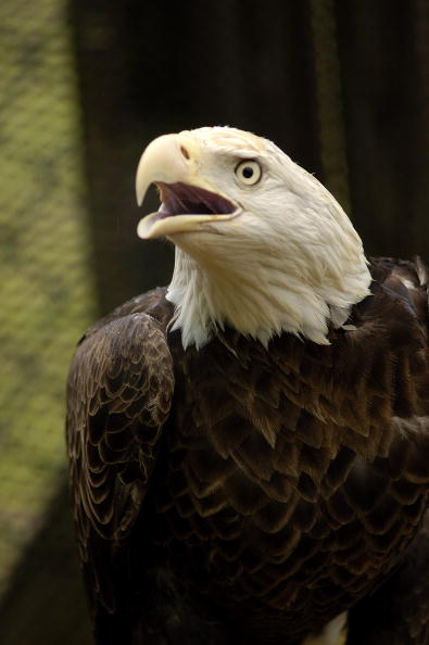 Animals Hunting「Maryland Celebrates The Return Of The Bald Eagle」:写真・画像(3)[壁紙.com]