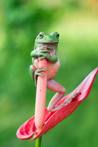 Anthurium「Dumpy tree frog standing on anthurium flower」:スマホ壁紙(17)