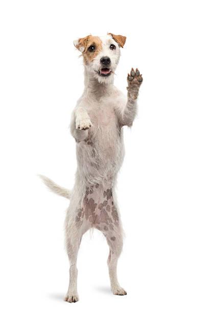 Parson Russel Terrier standing on hind legs:スマホ壁紙(壁紙.com)